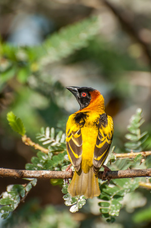 weaver bird: Masked Weaver in a tree at an island in Lake Victoria. The weaver bird is sitting with his back towards the viewer, and head turned to the left, revealing the profile of the face.