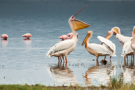 A pelican at Lake Nakuru in Kenya with his bill wide open while facing the other pelicans. It looks like he is addressing them all about something important. photo