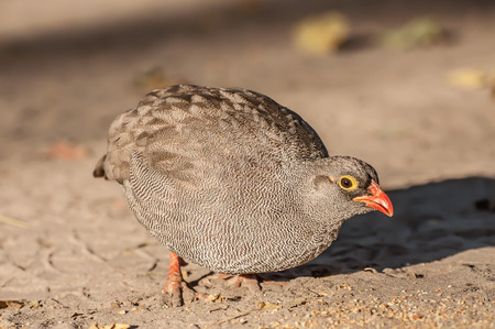 phasianidae: Quail in the Early Morning Sunlight, in the Okavango National Park, Botswana while feeding on some seeds found in the sand.
