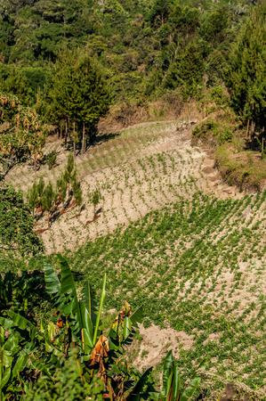 Sandy soil: Los campos de papa en suelos arenosos en Tanzania vistos desde la parte superior.
