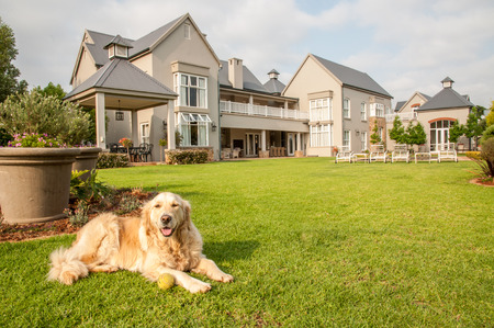 Golden Retriever at Home, lying relaxed in the beautiful big garden of the big mansion house where she lives. photo