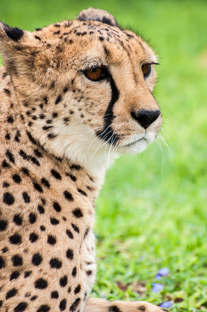 tame: A tame cheetah on the lawn of a farmhouse in Namibia staring out in to the distance.