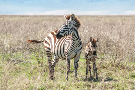 A Zebra standing next to her foal in the grasslands of the Ngorongoro Crater in Tanzania photo