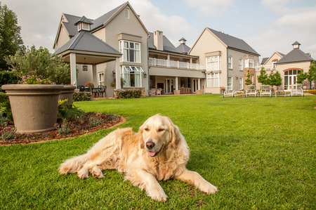 mans best friend: Golden Retriever at Home, lying relaxed in the beautiful big garden of the big mansion house where she lives.