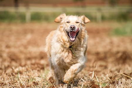 Golden Retriever at running through the fields at full speed, and enjoying herself. photo