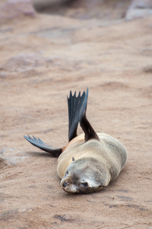 blubber: At a colony of Cape Fur Seals at Cape Cross on the Atlantic Ocean in Namibia, one pub on his or her own, just lying down on the sandy rock. Stock Photo