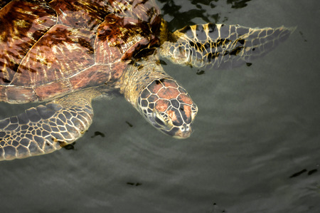 zanzibar: A green sea turtle in the water at a sanctuary in Zanzibar where they are protected.