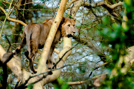 A young lion standing up in the branch of a fever tree, stairing out in the distance towards his right hand side, as if he has seen some pray worth hunting. photo