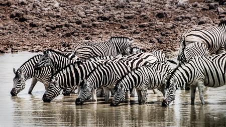 pozo de agua: Una manada de cebras est�n bebiendo agua en una charca en un paisaje muy seco.