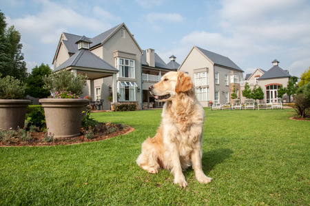 Golden Retriever at Home, sitting in the beautiful big garden of the big mansion house where she lives. Standard-Bild