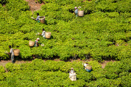 harvest time: Workers in the distance busy picking tea on the tea farms in Southern Tanzania. Stock Photo