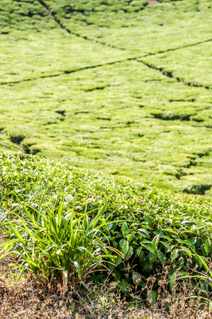 fastness: A View of a tea plantation in Tanzania, clearly showing the fastness of the farm, and the little walkways inbetween the tea plantations.