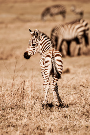 looking at viewer: Zebra Foal standing with her back towards the viewer, looking over her shoulder.