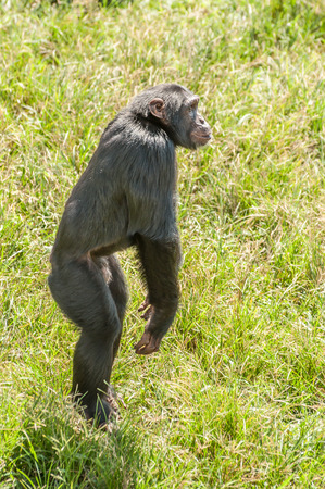 where to eat: A Chimpanzee on an island in Lake Victoria where they are protected in a natural environment, jumps with joy as it is time to eat. Stock Photo