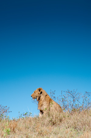 roaming: A male lion sitting on a small hilltop inside the Ngorongoro Crater, staring out over the valley below, with dark blue sky in the background.