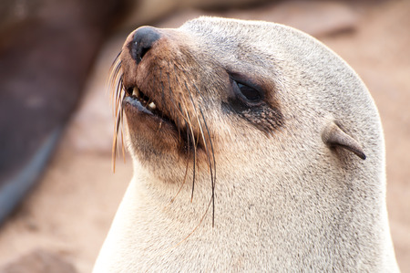 blubber: At acolony of Cape Fur Seals at Cape Cross on the Atlantic Ocean in Namibia.