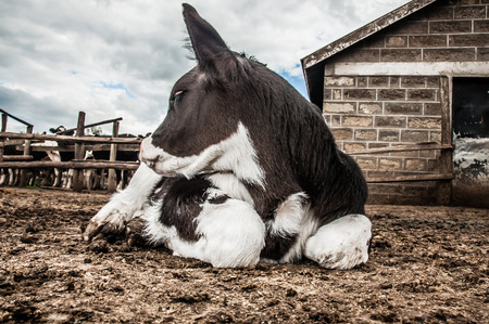 jersey cattle: Jersey calf lying down infront of stables. Stock Photo