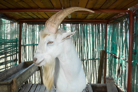 billygoat: Saanen billygoat standing in his stables, looking towards the viewer while diplaying his big horns and long white beard. Stock Photo