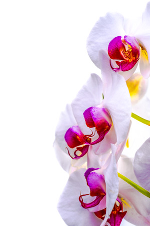 bilateral: Up close view of the flowers of an orchid on a white isolated background.