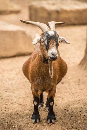 pygmy goat: An adult Pygmy goat on a farm.