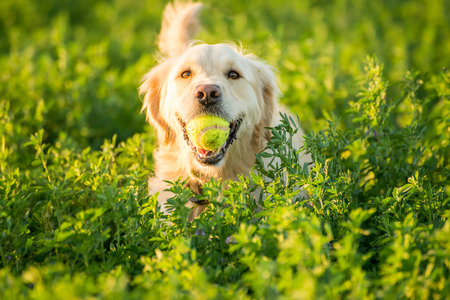 A Golden Retrievers returning with the tennis ball she just found in the fields.