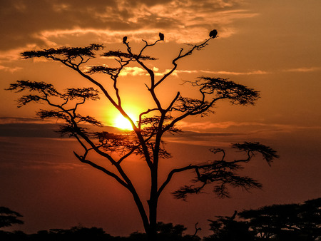 heritage protection: Sunset in the Serengeti behind an Acacia tree occupied by some fultures.