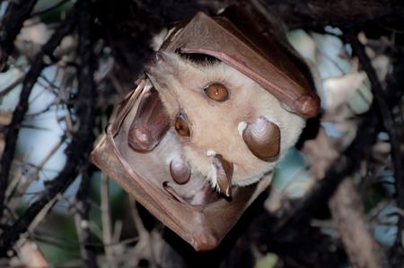signle: A Fruitbat hanging upside down in a tree during the day. A signle ear of her litter can be seen, protected by her body and wing. Stock Photo