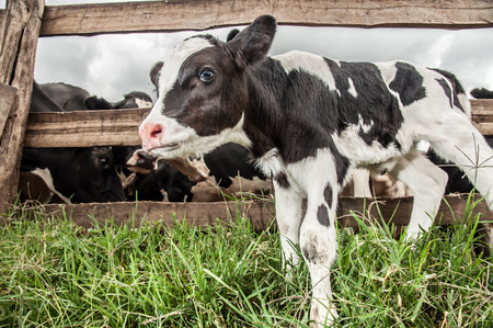 clumsy: A Jersey calf stands infront of the fence where all the cows are kept.
