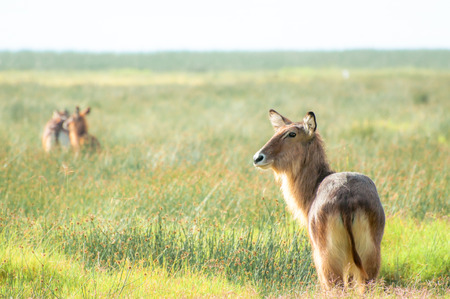 waits: A male Defassa Waterbuck stand and waits, while others has already run off into the distance, Stock Photo