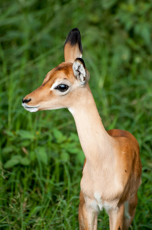 the fittest: A young impala calf stands in the lush green grass, while observing nervously. Stock Photo