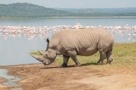 point of demand: A white Rhinocores walks towards the flamingo filled lake to drink water.