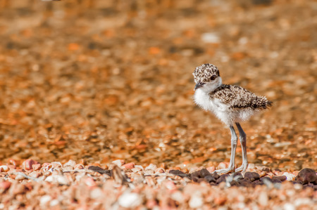 pebble beach: A very young Lapwing chick stands alone on a pebble beach near the water. Stock Photo