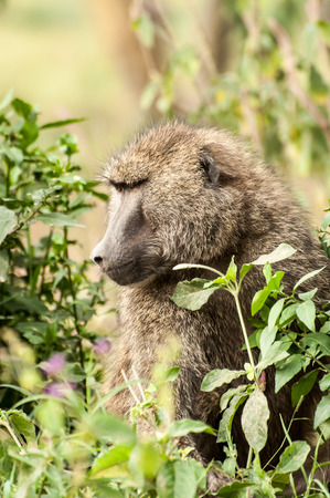 the fittest: An Olive Baboon sits in the lush bush, just staring in to the distance. Stock Photo
