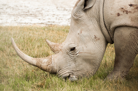 A White Rhinocores grazing on grass at Nakuru National Park.