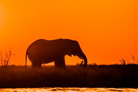 the fittest: The silhouette of an elephant as it is feeding on Sidudu Island in the Chobe river.
