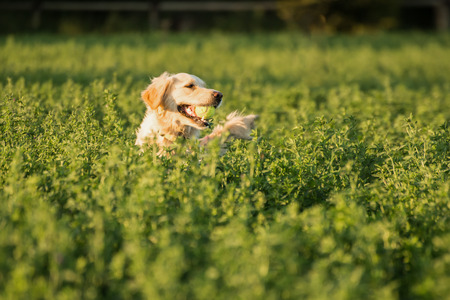 fetching: Golden Retriever in the farmland fodder, fetching the tennis ball that was thrown that way.