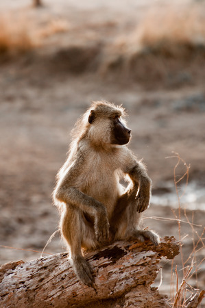 might: A baboon sits on a log and looks out for any danger that might threaten his group. Stock Photo