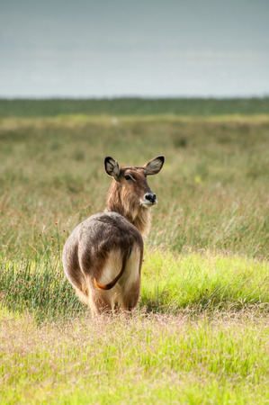 the fittest: A Defassa Waterbuck stands and watches wearily behind him for any approaching danger.