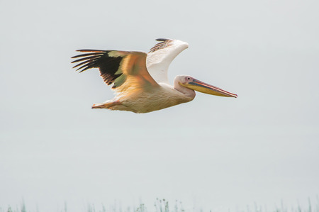 A pelican flying over Lake Nakuru in Kenya. Stock Photo