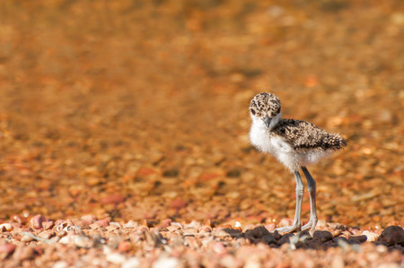 pebble beach: A lapwing chick stands at the shores of a lake on a pebble beach. Stock Photo