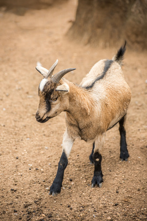 pygmy goat: A pygmy goat standing in a barren landscape. Stock Photo