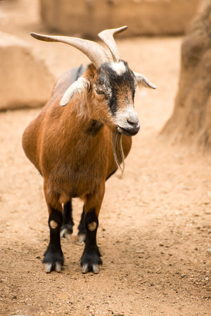 pygmy goat: A pygmy goat stands in her dusty sandy pen on a farm. Stock Photo