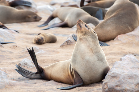 A Cape fur seal enjoys the heat of the sun at the Cape Cross seal colony in Namibia. Stock Photo