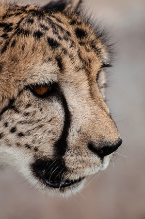 the fittest: An up close view of the face of a prowling cheetah. Stock Photo