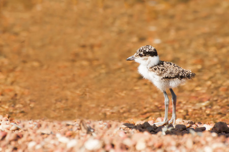 the fittest: A Recently born Lapwing chick on an island in Lake Victoria in East Africa, standing by the water Stock Photo