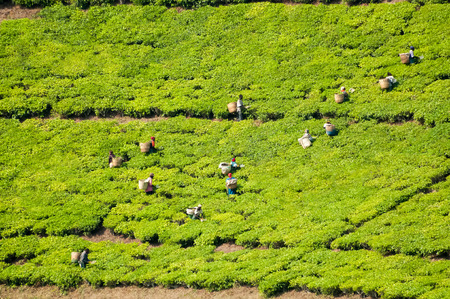 Many workers labour the day away by picking tea leaves during harvest season on a steep incline on a tea farm near Rungwi in Souther Tanzania Stock Photo