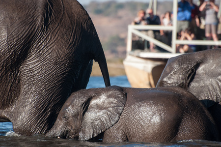 the fittest: Three elephants cross the Chobe river from Sidudu Island to the main land on the Botswana side. They are soaked from head to toe, as toursts watch from a river barge near by.