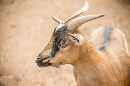 pygmy goat: A close up portrait of a brown pygmy goat with horns in a light brown dirt setting.
