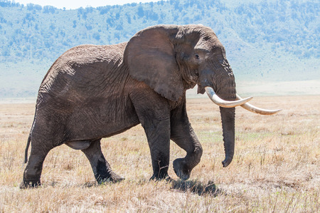 A huge elephant bull walks over the drie grassland inside the Ngorongoro Crater in full view, showing of his enourmous tusks.