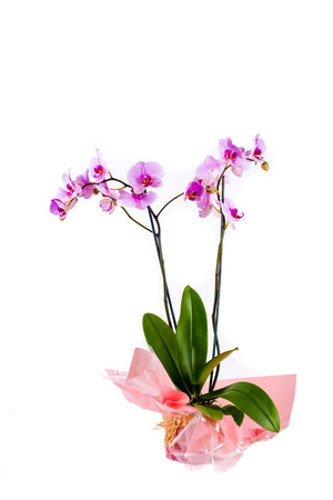 bilateral: An orchid plant with pink flowers in a nicely cellophane wrapped pot on a white isolated background. Stock Photo